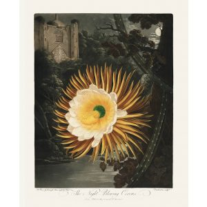 The Night Blowing Cereus by Robert Thornton – Temple of Flora, or Garden of Nature – Museum Quality Giclee Print – Heritage Prints Facsimile