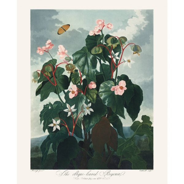 Oblique Leaved Begonia by Robert Thornton – Temple of Flora, or Garden of Nature – Museum Quality Giclee Print – Heritage Prints Facsimile