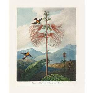 Large Flowering Sensitive Plant by Robert Thornton – Temple of Flora, or Garden of Nature – Museum Quality Giclee Print – Heritage Prints Facsimile