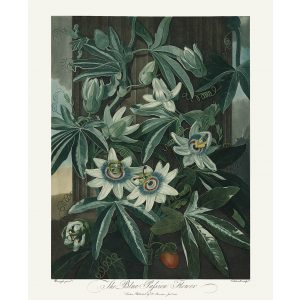 The Blue Passion Flower by Robert Thornton – Temple of Flora, or Garden of Nature – Museum Quality Giclee Print – Heritage Prints Facsimile