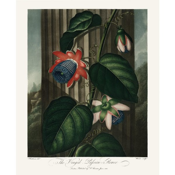 The Winged Passion Flower by Robert Thornton – Temple of Flora, or Garden of Nature – Museum Quality Giclee Print – Heritage Prints Facsimile