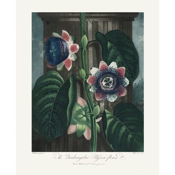 Quadrangular Passion Flower by Robert Thornton – Temple of Flora, or Garden of Nature – Museum Quality Giclee Print – Heritage Prints Facsimile