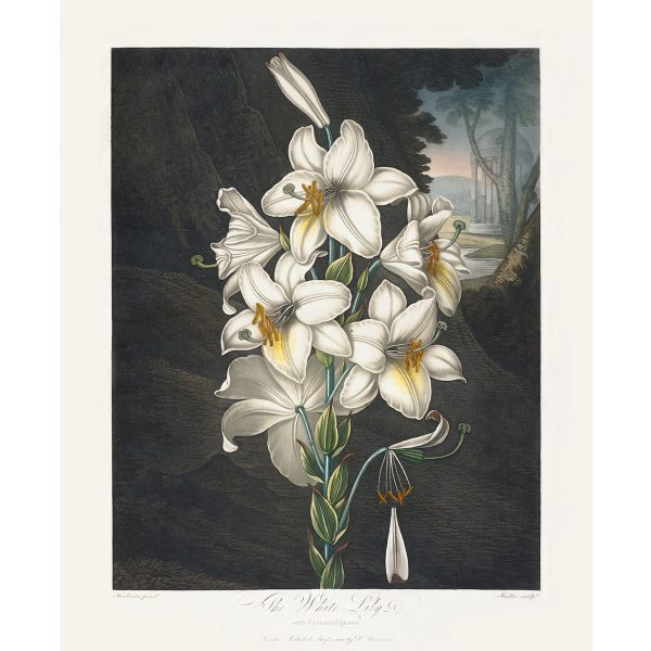 The White Lily by Robert Thornton – Temple of Flora, or Garden of Nature – Museum Quality Giclee Print – Heritage Prints Facsimile Robert Thornton Temple of Flora Garden of Nature Giclée The White Lily
