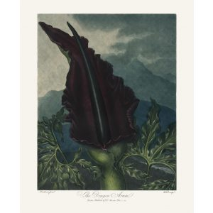 The Dragon Arum by Robert Thornton – Temple of Flora, or Garden of Nature – Museum Quality Giclee Print – Heritage Prints Facsimile