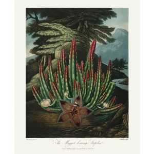 Maggot Bearing Stapelia by Robert Thornton – Temple of Flora, or Garden of Nature – Museum Quality Giclee Print – Heritage Prints Facsimile