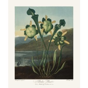 Pitcher Plant by Robert Thornton – Temple of Flora, or Garden of Nature – Museum Quality Giclee Print – Heritage Prints Facsimile