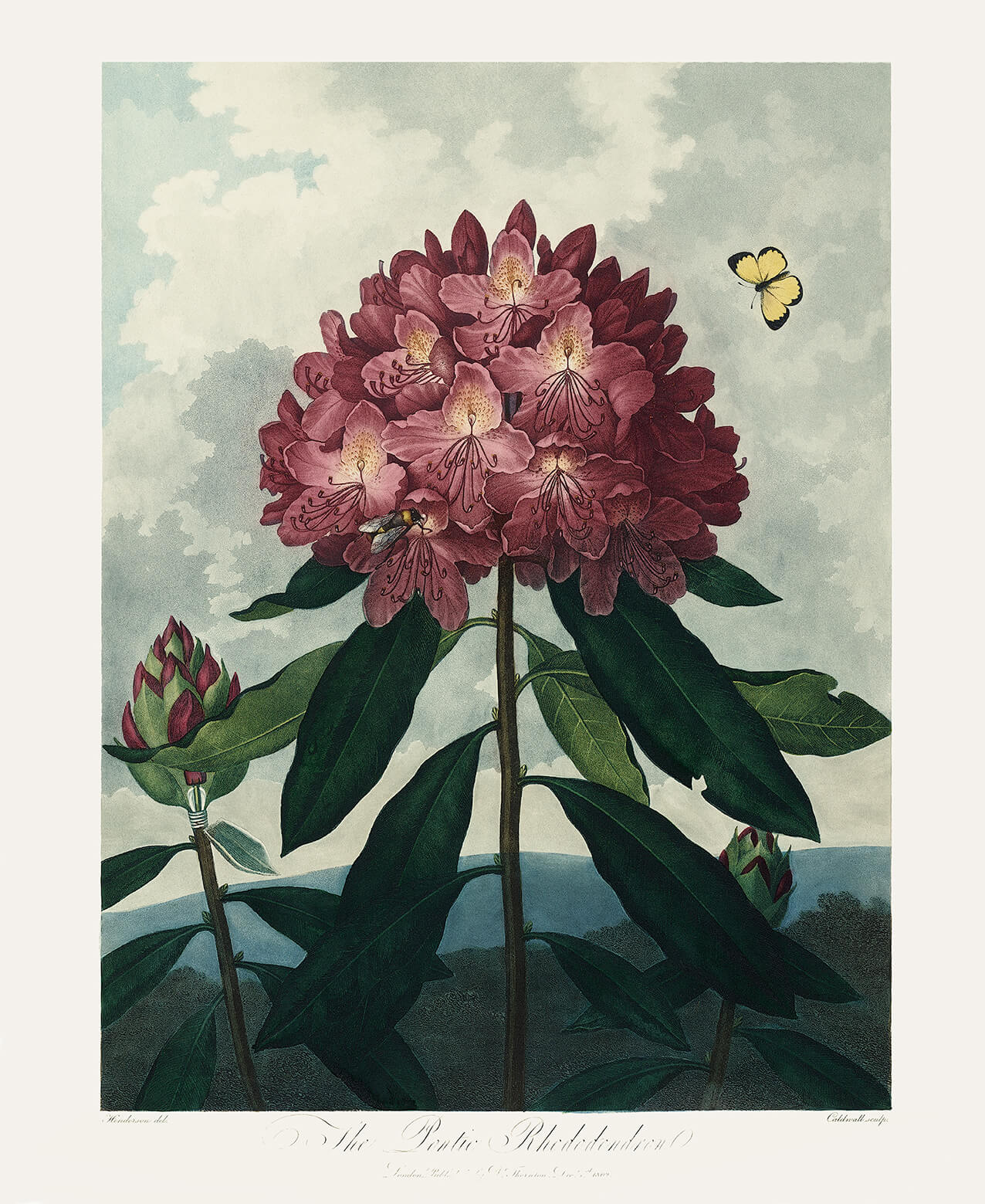 Pontic Rhododendron by Robert Thornton – Temple of Flora, or Garden of Nature – Museum Quality Giclee Print – Heritage Prints Facsimile