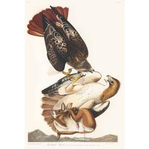 John James Audubon Birds of America Plate 051 Red tailed Hawk Giclée Print