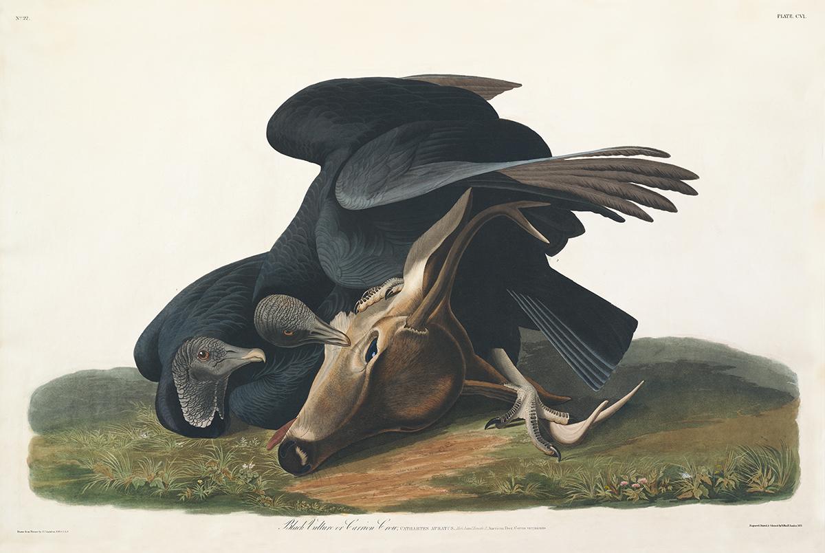 John James Audubon Birds of America Plate 106 Black Vulture, or Carrion Crow Giclée Print