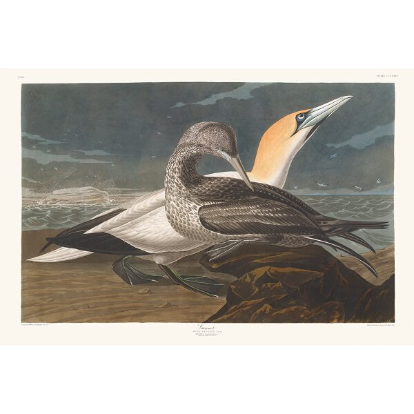 John James Audubon Birds of America Plate 326 Gannat Giclée Print