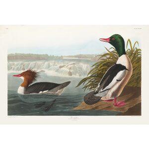 John James Audubon Birds of America Plate 331 Goosander Giclée Print