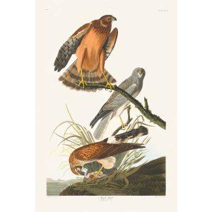 John James Audubon Birds of America Plate 356 Marsh Hawk Giclée Print