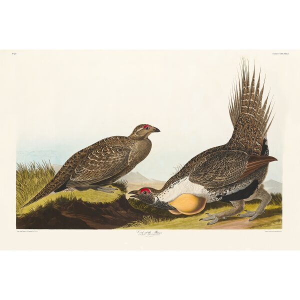 John James Audubon Birds of America Plate 371 Cock of the Plains Giclée Print