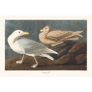 John James Audubon Birds of America Plate 391 Burgomaster Gull Giclée Print