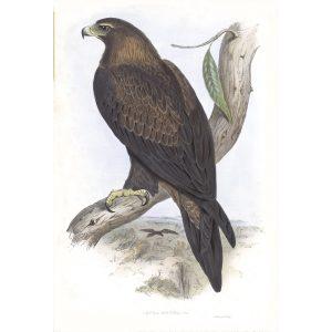 Wedge-tailed Eagle - Aquila Fucosa - John Gould Birds of Australia Volume 1 - Facsimile Giclee Print - Heritage Prints