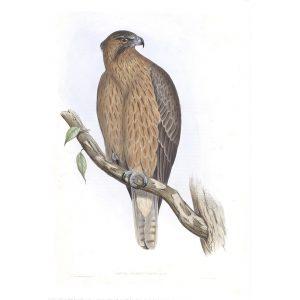 Little Australian Eagle - Aquila Morphnoides - John Gould Birds of Australia Volume 1 - Facsimile Giclee Print - Heritage Prints