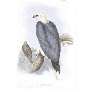 White-bellied Sea-eagle - Ichthiaetus Leucogaster - John Gould Birds of Australia Volume 1 - Facsimile Giclee Print - Heritage Prints