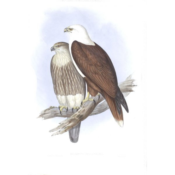 White-breasted Sea-eagle - Haliastur Leucosternus - John Gould Birds of Australia Volume 1 - Facsimile Giclee Print - Heritage Prints