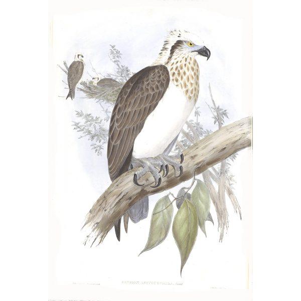 White-headed Osprey - Pandon Leucocephalus - John Gould Birds of Australia Volume 1 - Facsimile Giclee Print - Heritage Prints