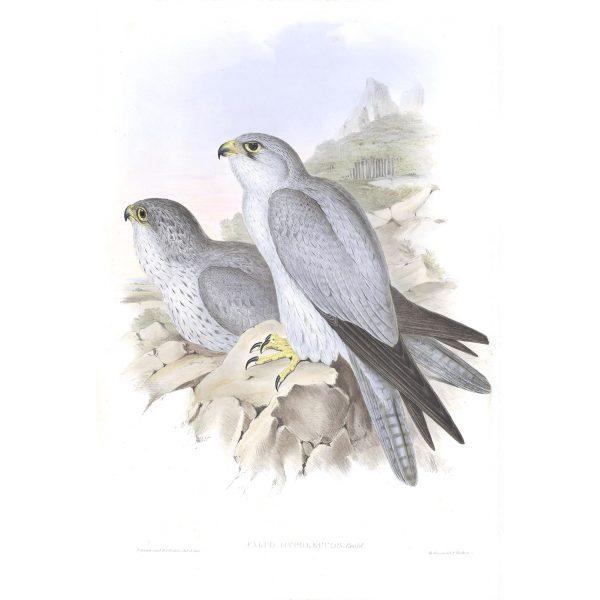 Grey Falcon - Falco Hypoleucus - John Gould Birds of Australia Volume 1 - Facsimile Giclee Print - Heritage Prints