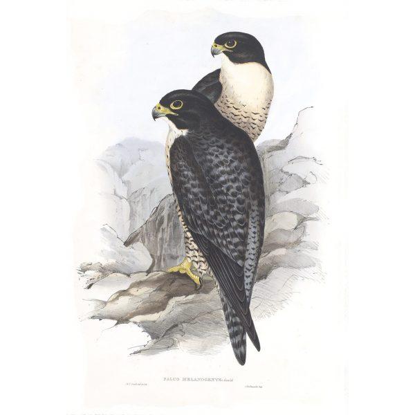 BIRDNAME- John Gould Birds of Australia Volume 2 - Facsimile Giclee Print - Heritage Prints