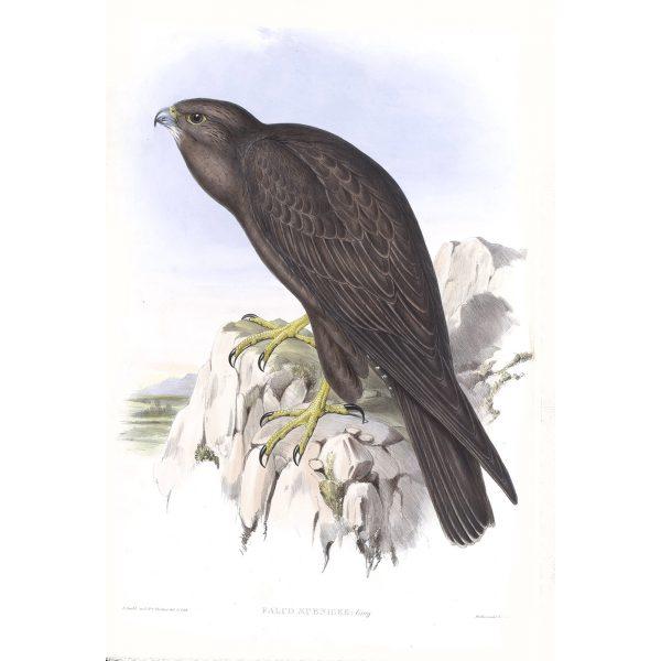 Black Falcon - Falco Subniger - John Gould Birds of Australia Volume 1 - Facsimile Giclee Print - Heritage Prints