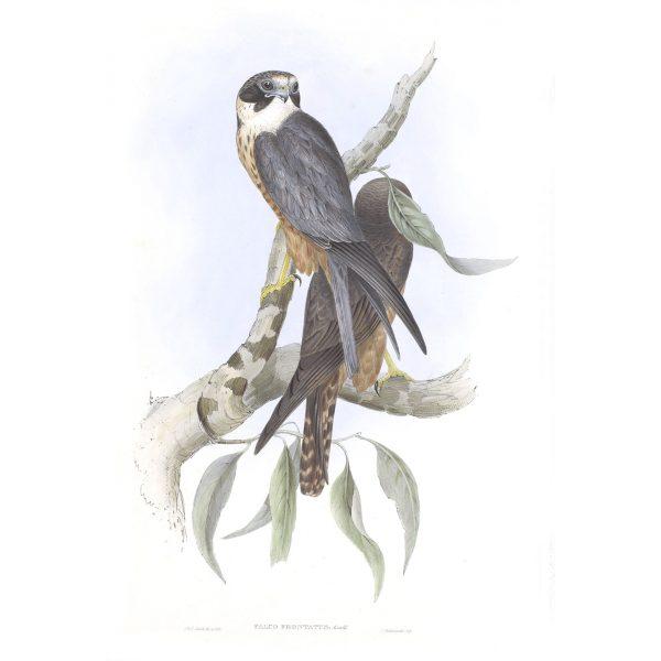 White-fronted Falcon - Falco Frontatus - John Gould Birds of Australia Volume 1 - Facsimile Giclee Print - Heritage Prints