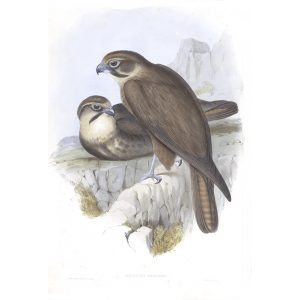Brown Hawk - Ieracidea Berigora - John Gould Birds of Australia Volume 1 - Facsimile Giclee Print - Heritage Prints