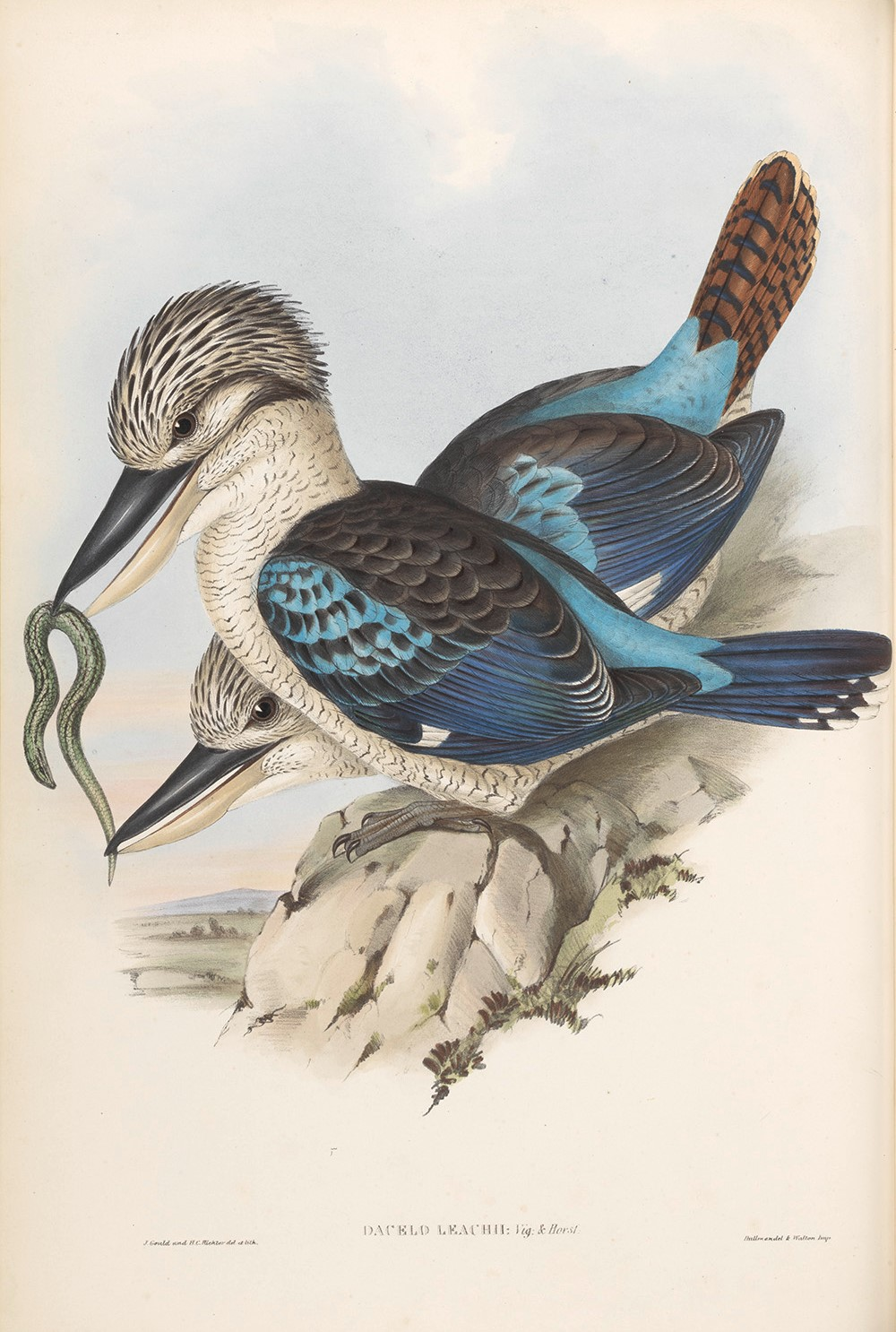 Leach's Kingfisher 019 by John Gould. Birds of Australia Volume 2. Museum quality giclee print. Facsimile Giclee