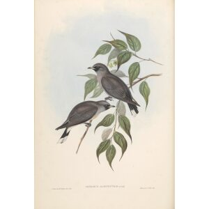 White-vented Wood Swallow 030 by John Gould. Birds of Australia. Museum quality giclee prints. Facsimile Giclee by Heritage Prints.