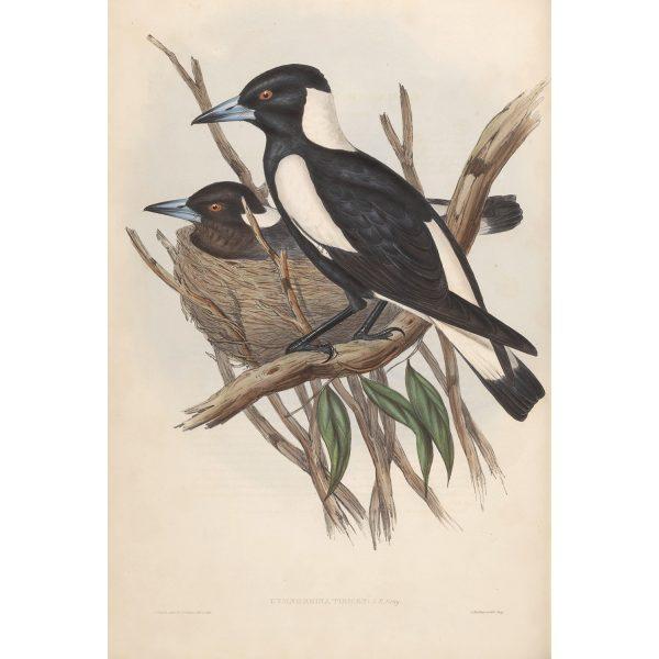 Piping Crow-Shrike 046 by John Gould. Birds of Australia Volume II. Museum quality giclee print. Facsimile. Heritage Prints