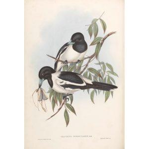 Black Throated Crow-Shrike 049 by John Gould. Birds of Australia Volume II. Museum quality giclee print. Facsimile. Heritage Prints