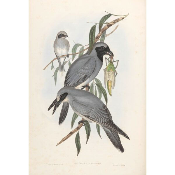 Back-faced Graucalus 055 by John Gould. Birds from Australia Volume II. Museum quality giclee prints. Facsimile. Heritage Prints.