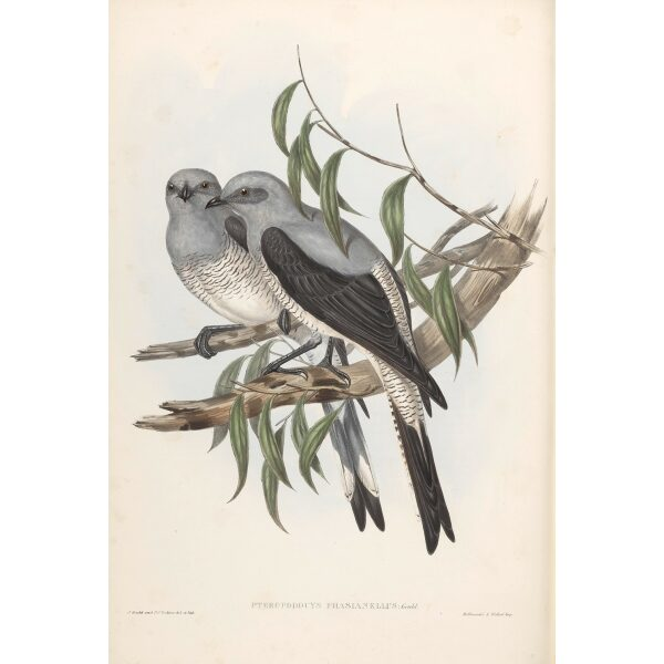 Ground Graucalus 059 by John Gould. Birds from Australia Volume II. Museum quality giclee prints. Facsimile. Heritage Prints.