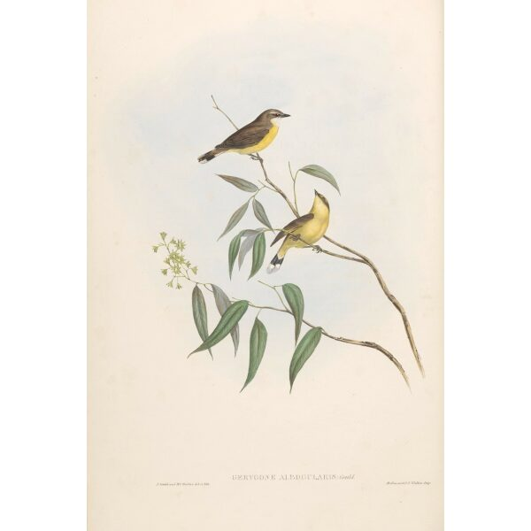 White-throated Flycatcher 097 by Gould. Birds of Australia, Volume II. Museum quality giclee prints. Facsimile Giclee. Heritage Prints.