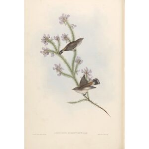 Western Gerygone 099 by Gould. Birds of Australia, Volume II. Museum quality giclee prints. Facsimile Giclee. Heritage Prints.