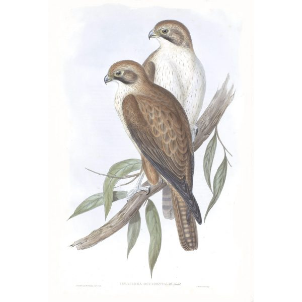 Western Brown Hawk - Ieracidea Occidentalis - John Gould Birds of Australia Volume 1 012 - Facsimile Giclee Print - Heritage Prints