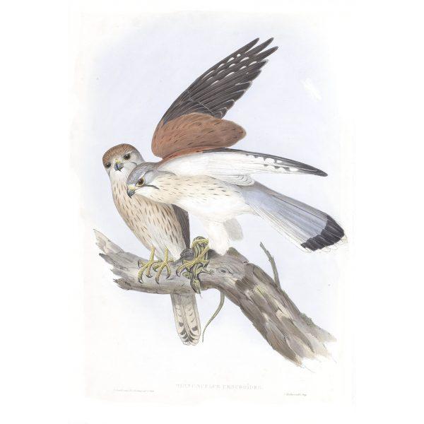 Nankeen Kestril - Tinnunculus Cencroide - John Gould Birds of Australia Volume 1 013 - Facsimile Giclee Print - Heritage Prints