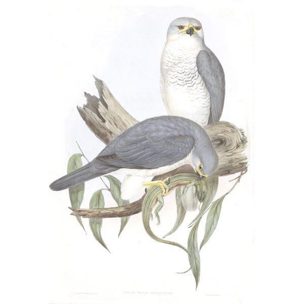 New Holland Goshawk - Astur Novae-Hollandiae - John Gould Birds of Australia Volume 1 014 - Facsimile Giclee Print - Heritage Prints