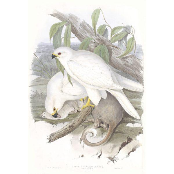 White Goshawk - Astur Novae - John Gould Birds of Australia Volume 1 015 - Facsimile Giclee Print - Heritage Prints