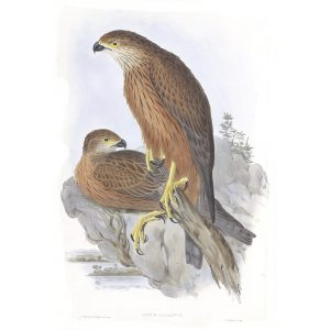 Radiated Goshawk - Astur Radiatus - John Gould Birds of Australia Volume 1 - Facsimile Giclee Print - Heritage Prints