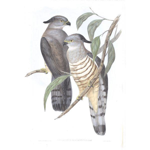 Crested Hawk - Lepidogenys Subcristatus - John Gould Birds of Australia Volume 1 025 - Facsimile Giclee Print - Heritage Prints