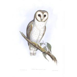 Delicate Owl - Strix Delicatulus - John Gould Birds of Australia Volume 1 031 - Facsimile Giclee Print - Heritage Prints