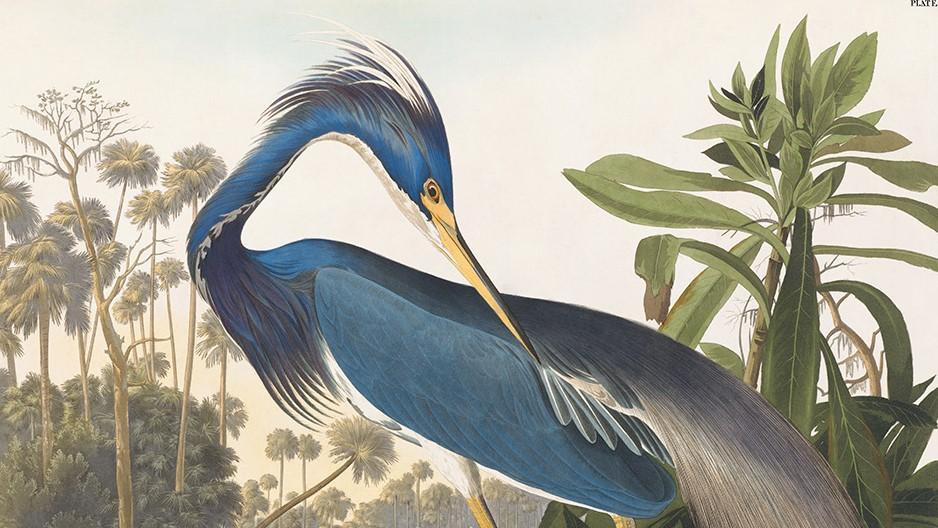 Audubon's Herons are alive. Louisiana Heron Plate 217. Facsimile Giclee Print. Heritage Prints