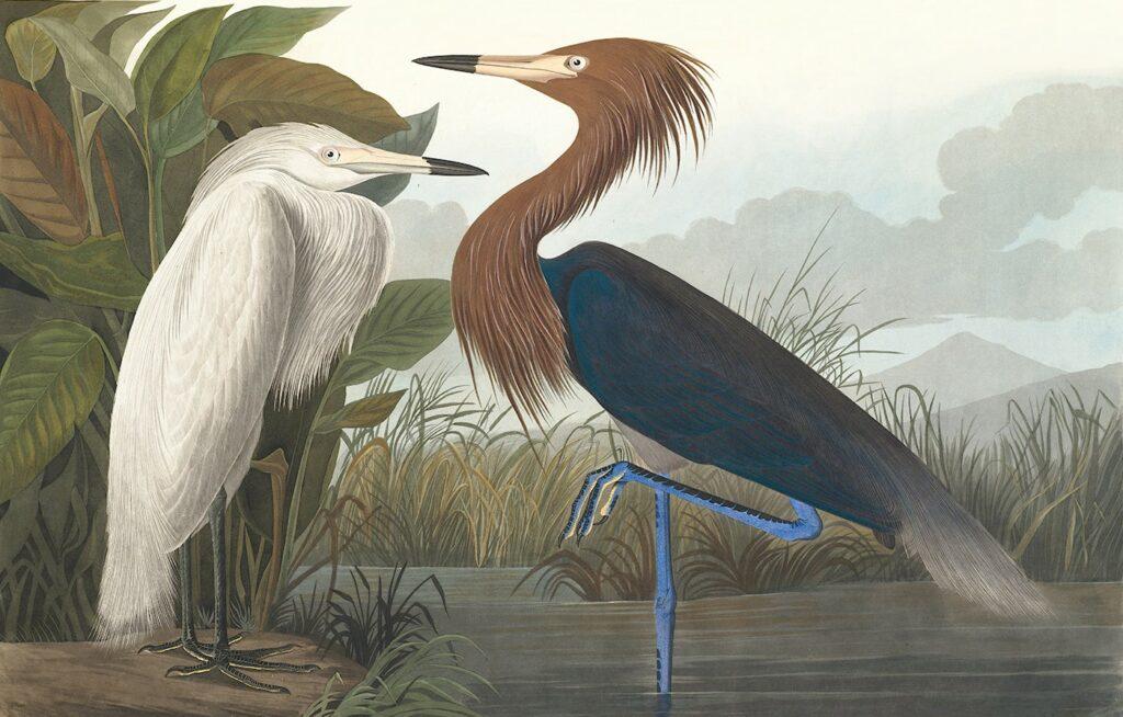 Audubon Purple Heron Plate 256. Audubon's Herons are alive. Facsimile Giclee Print