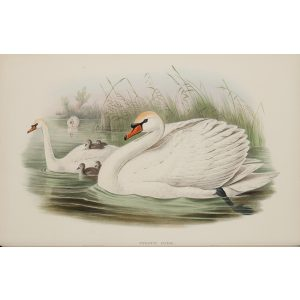 Mute Swan Plate 008 by John Gould – Birds of Great Britain Volume 5, the Natatores. Museum quality giclee print. Facsimile Giclee