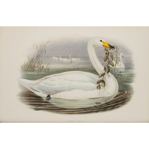 Wild Swan or Whooper Plate 009 by John Gould – Birds of Great Britain Volume 5, the Natatores. Museum quality giclee print. Facsimile Giclee