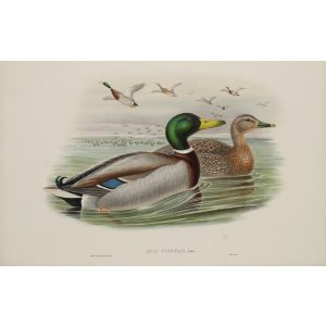 Mallard or Wild Duck 015 by John Gould – Birds of Great Britain Volume 5, the Natatores. Museum quality giclee print. Facsimile Giclee