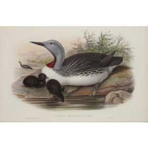 Red-throated Diver Plate 045 by John Gould – Birds of Great Britain Volume 5, the Natatores. Museum quality giclee print. Facsimile Giclee
