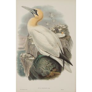 Gannet or Solan Goose Plate 054 by John Gould – Birds of Great Britain Volume 5, the Natatores. Museum quality giclee print. Facsimile Giclee